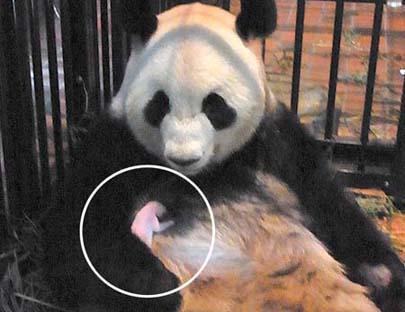 熊猫幼崽开追悼会